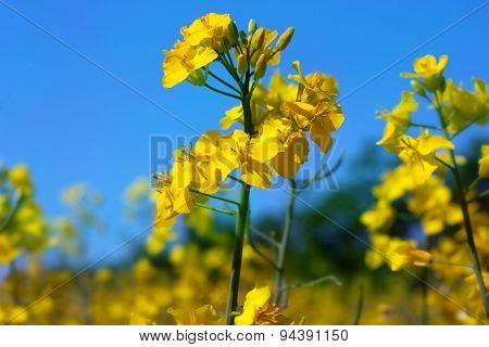 Yellow Rapeseed Flowers On Field