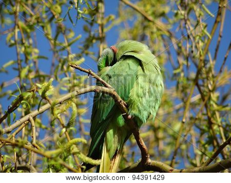 Sleeping Rose-ringed parakeet