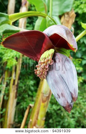 Banana tree inflorescence partially opened with bee on flowers