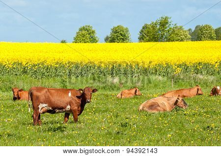 cattle in a field on a summer day