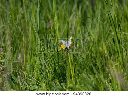 White Butterfly On A Dandelion. Summer Background
