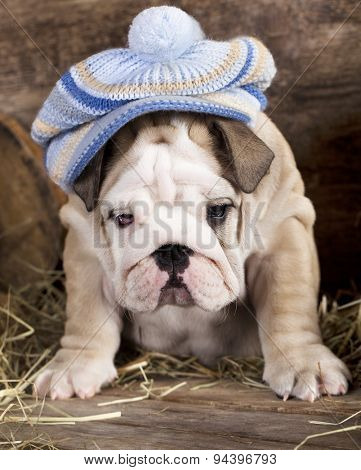 English bulldog wearing a hat