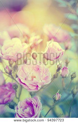 Vintage photo of pink roses