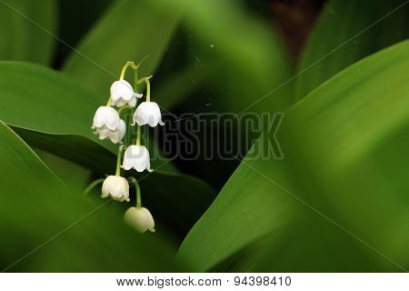 Inflorescence of European lily-of-the-valley, botanical name Convallaria majalis