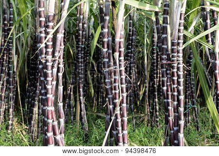 Asia Myanmar Myeik Sugar