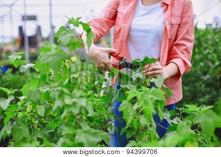 Young gardener cutting blackcurrant leaves