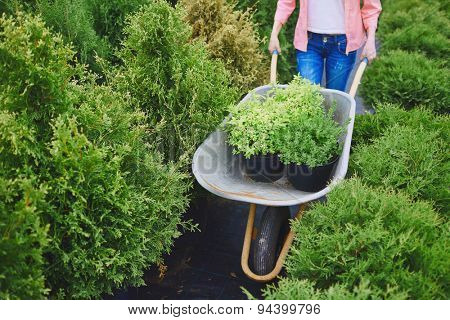 Female carrying green plants in wheelbarrow