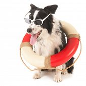 picture of collie  - Border collie as funny rescue dog isolated over white background - JPG