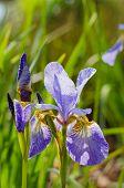 picture of purple iris  - Closeup on purple blossom iris flower with water drops under sunlight - JPG