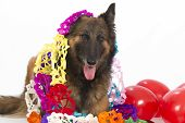 picture of belgian shepherd dogs  - Belgian Shepherd Tervuren dog with balloons and garlands isolated on white studio background - JPG