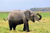 picture of swamps  - Happy African elephant eating grass in the swamp in Amboseli national park Kenya - JPG
