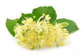 pic of linden-tree  - Linden flowers on a white background close up - JPG