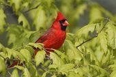 pic of cardinals  - Male Northern Cardinal  - JPG