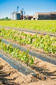 stock photo of silos  - Field of rooted grafts of vine - JPG