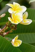 stock photo of plumeria flower  - Plumeria flowers are so beautiful that popular in Thailand - JPG