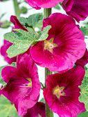 picture of hollyhock  - Closeup of purple hollyhock flowers - JPG