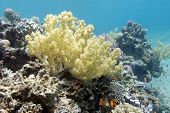 picture of bottom  - coral reef with yellow  broccoli coral at the bottom of tropical sea - JPG