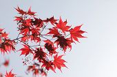 pic of canada maple leaf  - red maple leaves - JPG
