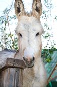 stock photo of burro  - Head shot of a wild burro gnawing of a rail - JPG