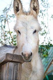 image of burro  - Head shot of a wild burro gnawing of a rail - JPG