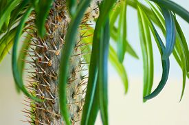 picture of mezcal  - the tropical cactus palm in the nature - JPG