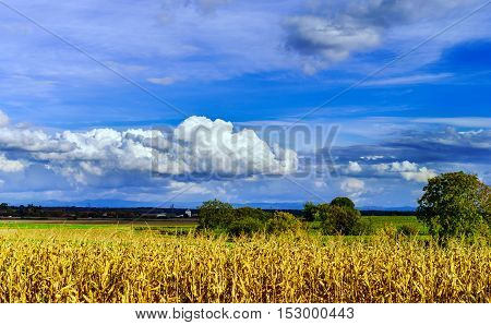 Ripe Corn And Vivid Blue Sky With Beautiful Clouds
