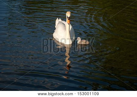 A distorted water reflection of white adult swan and grey chick swan