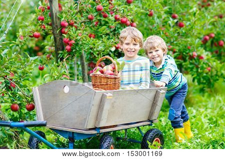 Two adorable happy little kids boys picking and eating red apples on organic farm, autumn outdoors. Funny little preschool children, siblings, twins and best friends having fun with helping and harvesting