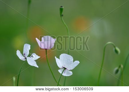 white poppies on green field in summer