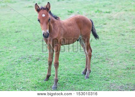 curious young brown colt on the meadow