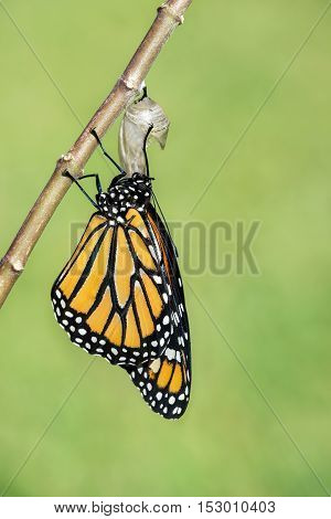 Monarch butterfly (danaus plexippus) emerging from the chrysalis. Natural green background with copy space.