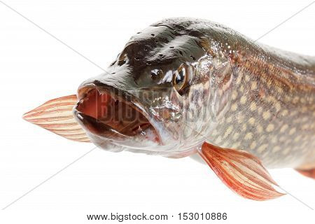Pike fish isolated on a white background