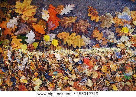 Colorful leaves of oak birch maple in autumn city sidewalk.