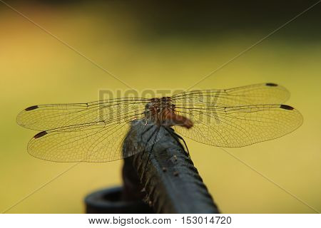 Dragonfly with spread wings in summer sunlight