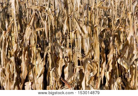 Fall corn crop makes a cornfield background
