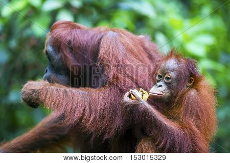 Female orang-utan with her baby in their native habitat. Rainforest of Borneo.