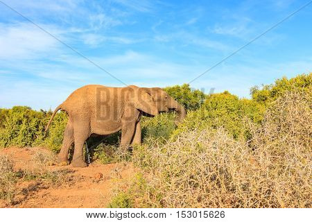African Bush Elephant Taking A Dump And A Wee At The Same Time