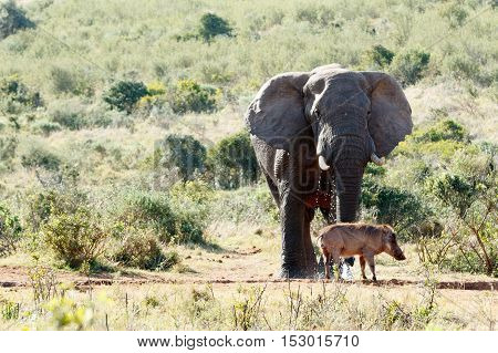 African Bush Elephant Drinking Water.
