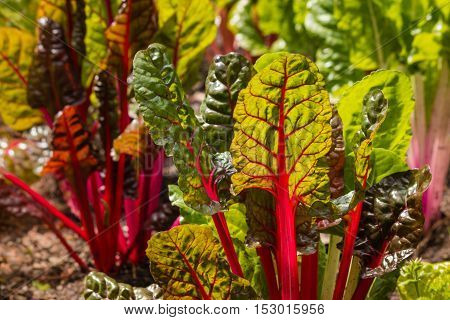 detail of red swiss chard leaves in garden