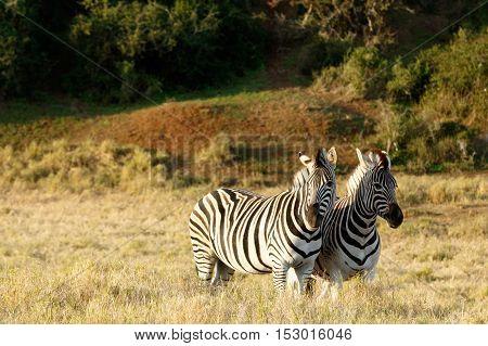 Burchell's Zebra Standing And Looking.