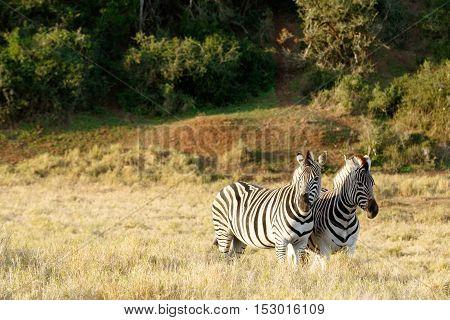 Two Zebras Standing In A Field In Addo