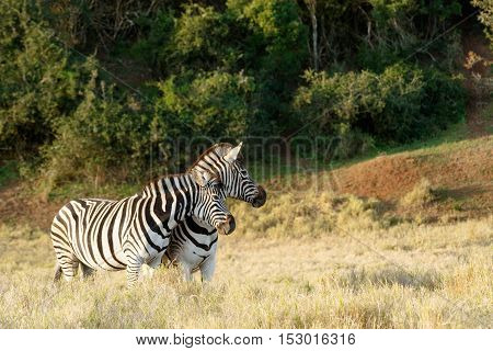 Burchell's Zebra In A Filed
