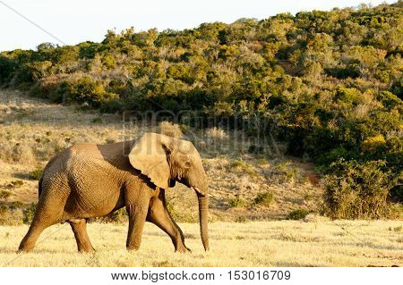 African Bush Elephant On The Way To The Water.