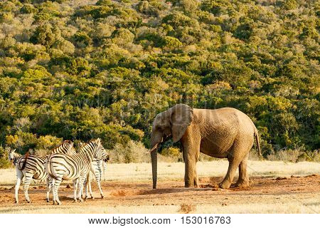 Elephant having a chat with Zebra in Addo