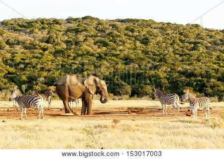 The Elephant And Zebra Tail Fight