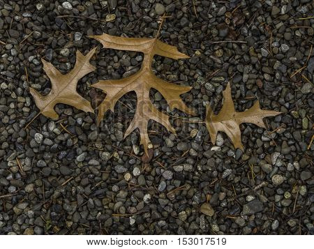 Three brown oak leaves lying on gravel at top of frame