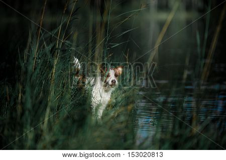 Dog Jack Russell Terrier