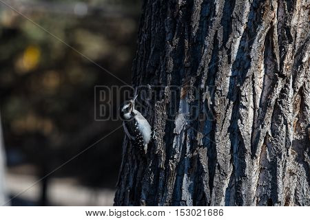 Downy woodpecker on a tree pecking a hole