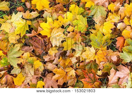 Yellow fallen leaves on ground, autumn ground texture.