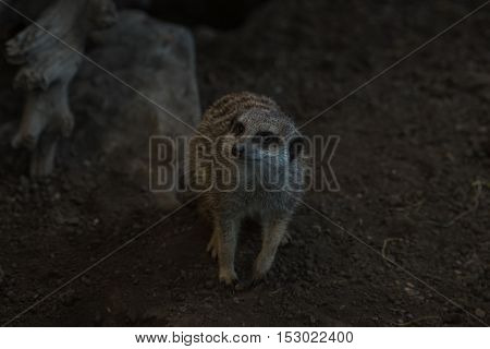 Meerkat walking on all fours peering upwards